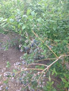 Lovely bushes full of berries