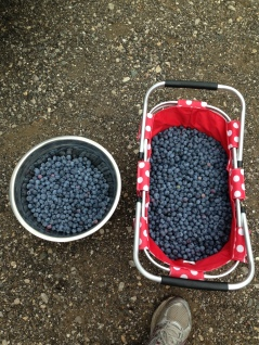 23 pounds of blueberries